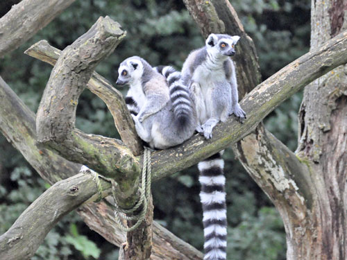 photo Ring-tailed lemur / <span class='cursive'>Lemur catta</span>