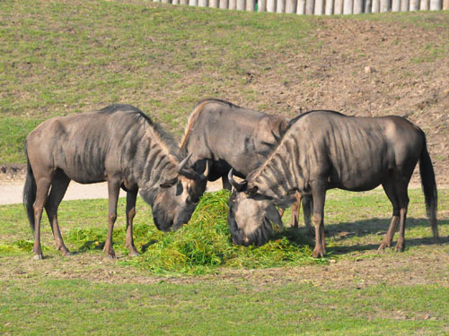 photo Blue wildebeest / <span class='cursive'>Connochaetes taurinus taurinus</span>
