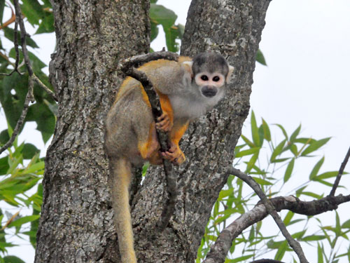 photo Peruvian squirrel monkey / <span class='cursive'>Saimiri boliviensis peruviensis</span>