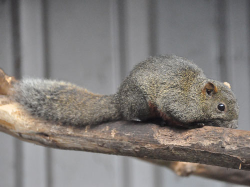 Belly-banded squirrel