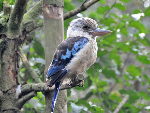 photo Blue-winged kookaburra / <span class='cursive'>Dacelo leachii</span>