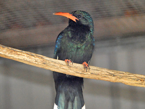 photo Green woodhoopoe / <span class='cursive'>Phoeniculus purpureus</span>
