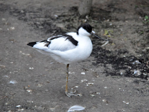photo Pied avocet / <span class='cursive'>Recurvirostra avosetta</span>