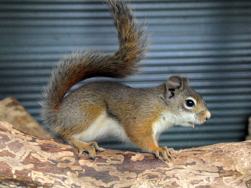 photo American red squirrel / <span class='cursive'>Tamiasciurus hudsonicus</span>