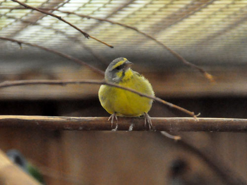 photo Serinus mozambicus / Yellow-fronted canary
