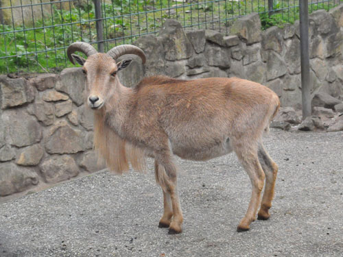 photo Barbary sheep / <span class='cursive'>Ammotragus lervia</span>