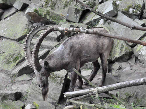 photo Siberian ibex / <span class='cursive'>Capra sibirica</span>