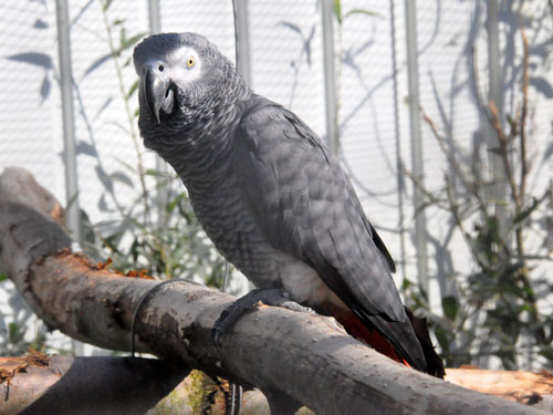 photo Psittacus erithacus erithacus / Grey parrot