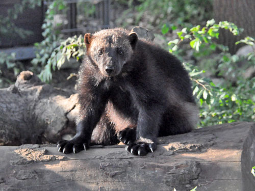 photo Wolverine / <span class='cursive'>Gulo gulo gulo</span>