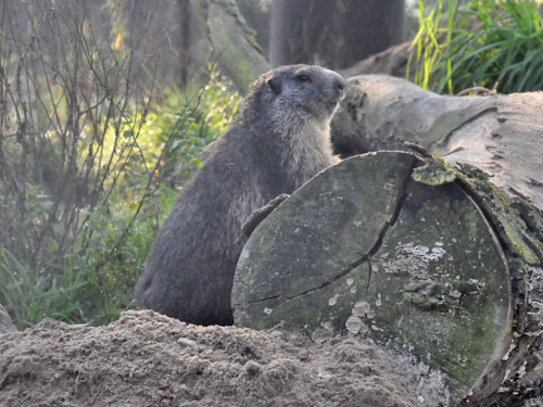 photo Alpine marmot / <span class='cursive'>Marmota marmota</span>
