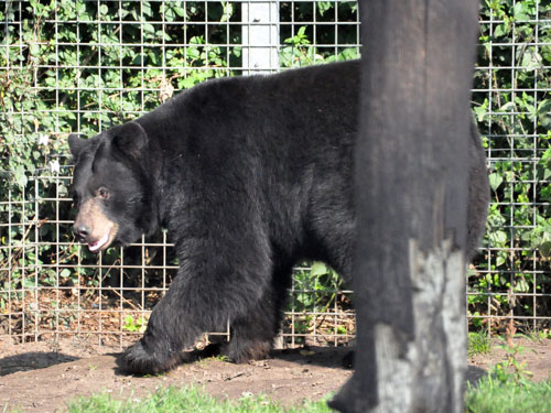 photo <span class='cursive'>Ursus americanus</span> / North American black bear