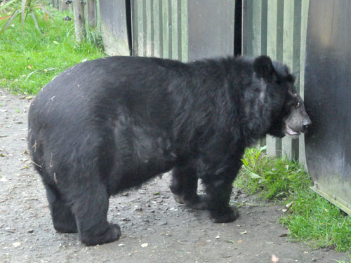 photo Asiatic black bear / <span class='cursive'>Ursus thibetanus</span>