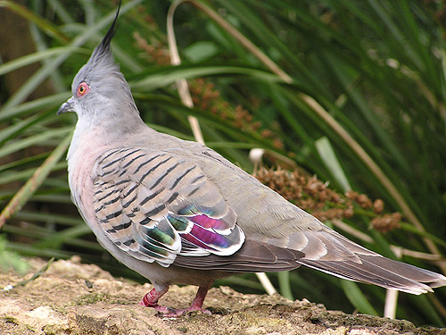 photo Crested pigeon / <span class='cursive'>Ocyphaps lophotes lophotes</span>