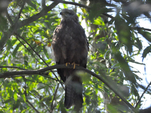 photo Black kite / <span class='cursive'>Milvus migrans</span>