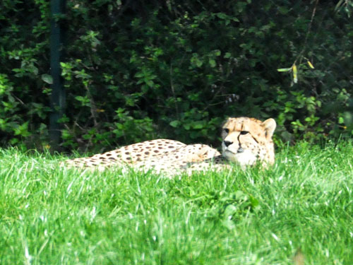photo Cheetah / <span class='cursive'>Acinonyx jubatus</span>