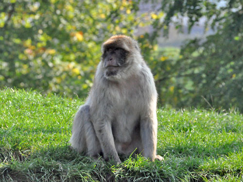 photo Barbary ape / <span class='cursive'>Macaca sylvanus</span>