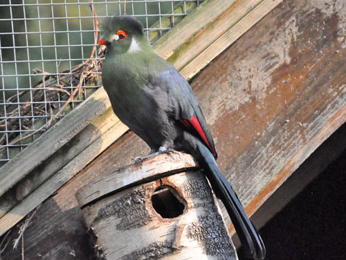 photo Tauraco leucotis / White-cheeked turaco