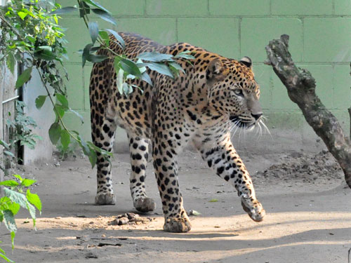 photo Sri Lankan leopard / <span class='cursive'>Panthera pardus kotiya</span>