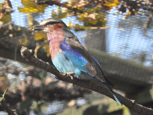 photo Lilac-breasted roller / <span class='cursive'>Coracias caudata</span>