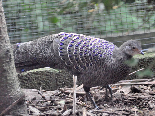 photo Polyplectron bicalcaratum / Grey peacock pheasant