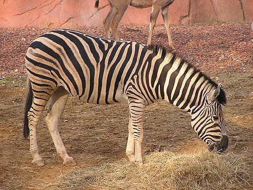 photo Damara zebra / <span class='cursive'>Equus quagga burchelli</span>