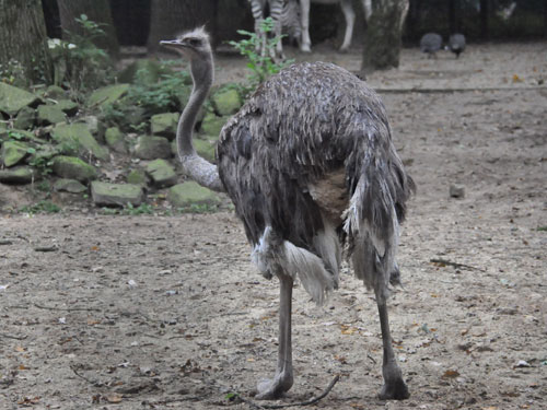 photo Ostrich / <span class='cursive'>Struthio camelus</span>