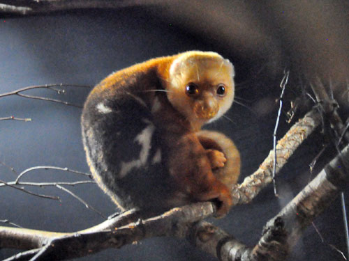 Short-tailed spotted cuscus