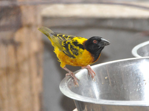 photo Black-headed weaver / <span class='cursive'>Ploceus cucullatus</span>