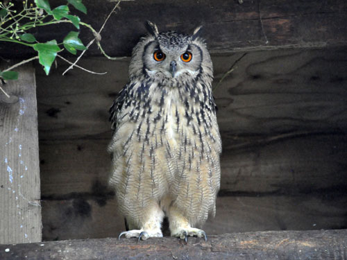 photo Indian eagle owl / <span class='cursive'>Bubo bubo bengalensis</span>