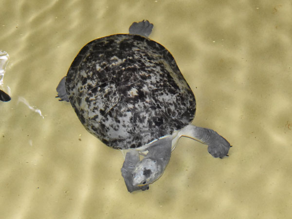 photo Southern New Guinea snapping turtle / <span class='cursive'>Elseya branderhorsti</span>