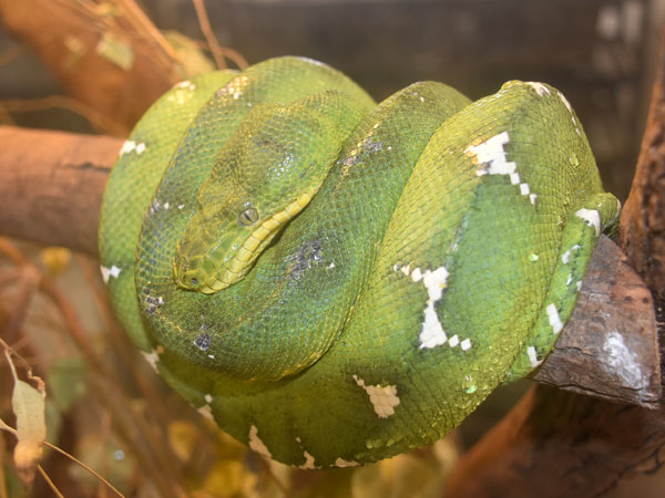 Green tree python / Morelia viridis<br> Total: 84