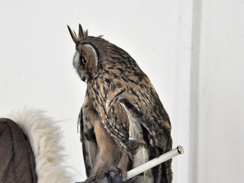 photo Long-eared owl / <span class='cursive'>Asio otus</span>
