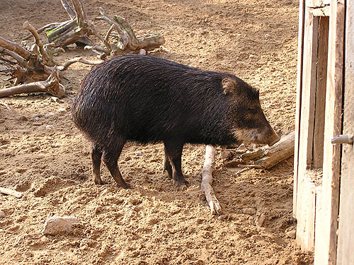 photo White-lipped peccary / <span class='cursive'>Tayassu pecari albirostris</span>
