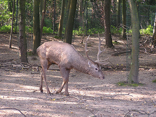 photo Bactrian wapiti / <span class='cursive'>Cervus hanglu bactrianus</span>