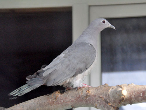 Malayan imperial pigeon