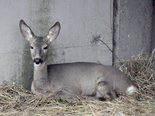 photo Western roe deer / <span class='cursive'>Capreolus capreolus</span>