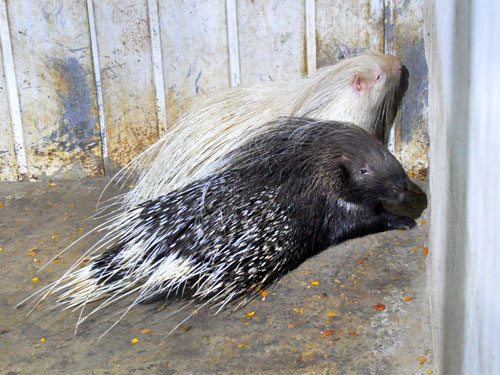 photo Indian crested porcupine / <span class='cursive'>Hystrix indica</span>