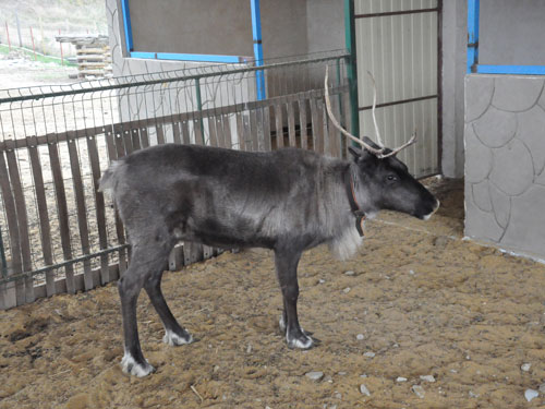 photo Reindeer / <span class='cursive'>Rangifer tarandus</span>