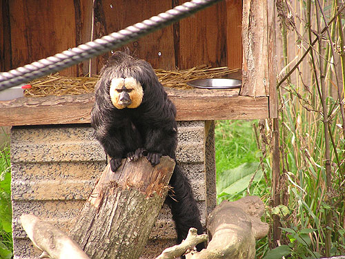photo White-faced saki / <span class='cursive'>Pithecia pithecia pithecia</span>