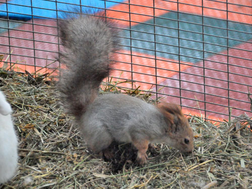 photo Siberian red squirrel / <span class='cursive'>Sciurus vulgaris exalbidus</span>