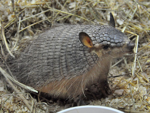 photo Screaming hairy armadillo / <span class='cursive'>Chaetophractus vellerosus</span>