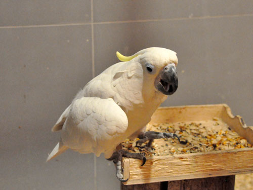 photo Sulphur-crested cockatoo / <span class='cursive'>Cacatua galerita</span>
