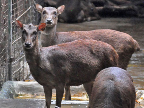 Philippine brown deer