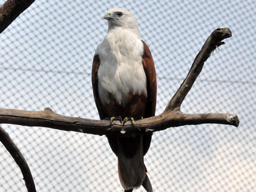 photo Brahminy kite / <span class='cursive'>Haliastur indus intermedius</span>