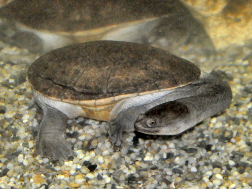 McCord's snake-necked turtle