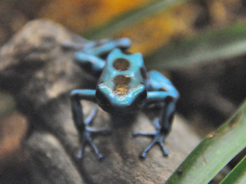 Green-and-black poison dart frog / Dendrobates auratus<br> Total: 39