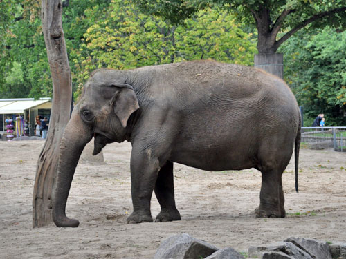 photo Asiatic elephant / <span class='cursive'>Elephas maximus</span>