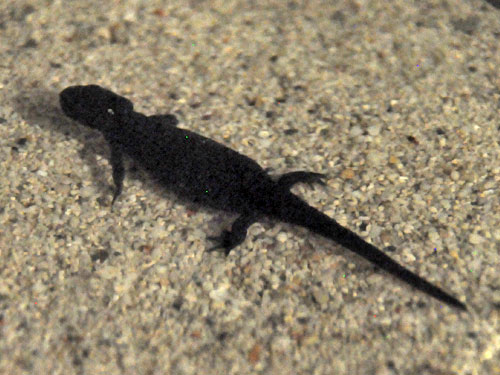 photo Oriental fire-bellied newt / <span class='cursive'>Cynops orientalis</span>