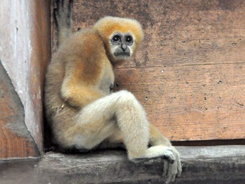 photo Hylobates lar / Lar gibbon