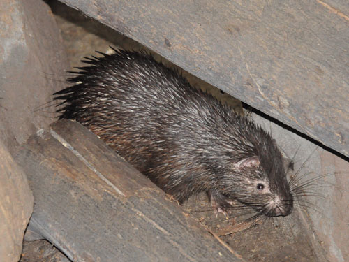 photo Palawan crested porcupine / <span class='cursive'>Hystrix pumila</span>